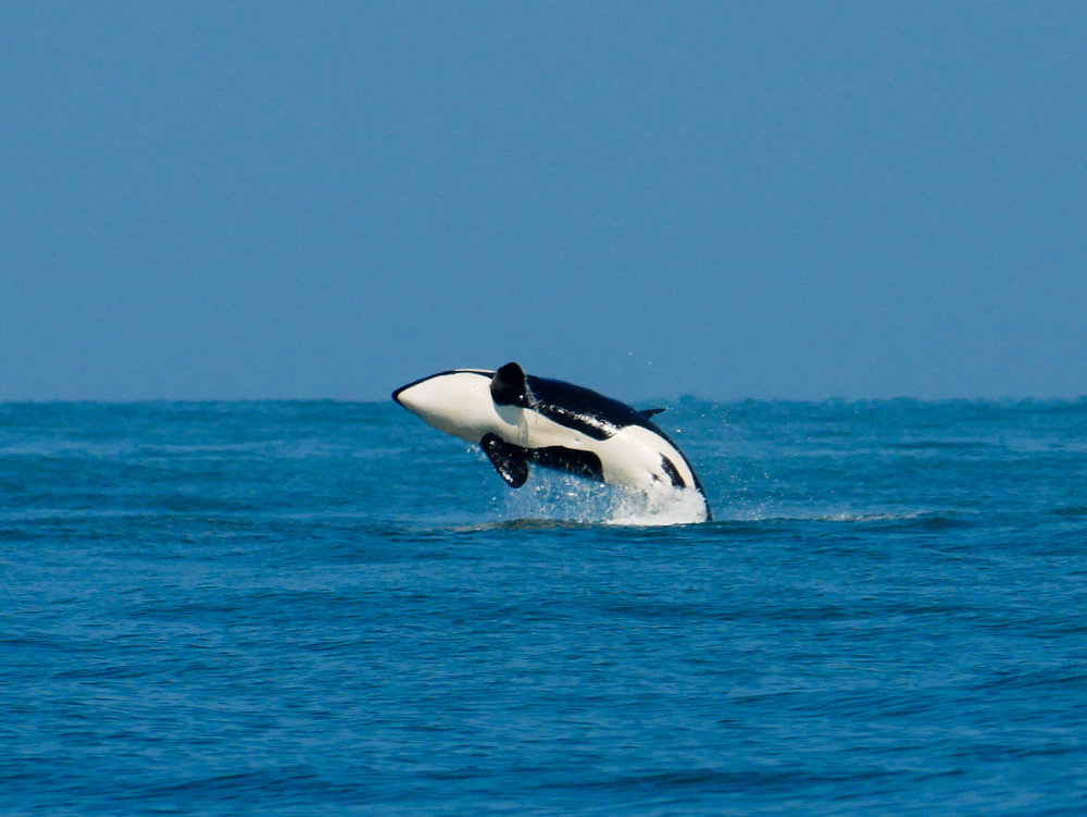 Once you see an orca breach, you'll never forget it! Photo by Jenna Keen - 10:30 tour.