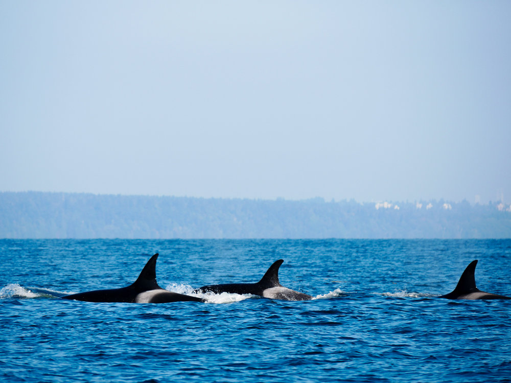 Three orcas at the surface. Photo by Val Watson - 3:30 tour.