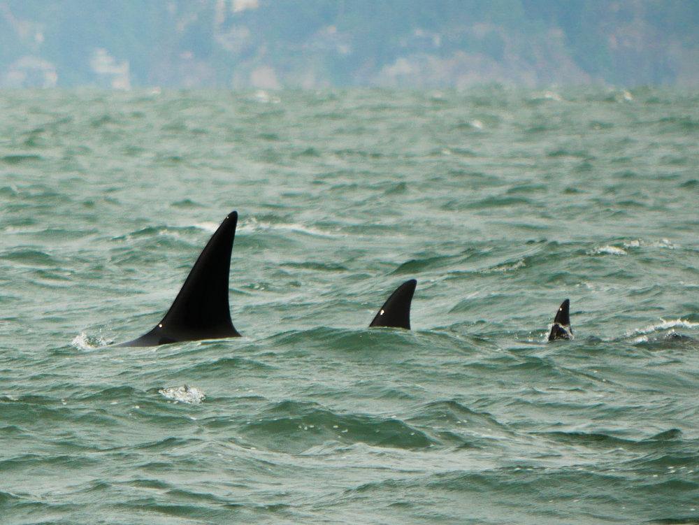 Synchronized surfacing by three very different dorsal fins. Photo by Rodrigo Menezes - 10:30 tour.