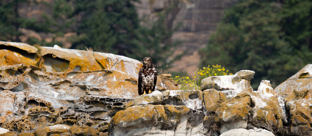 A juvenile bald eagle perched on the beautifully coloured Java Islets.Photo by Natalie Reichenbacher