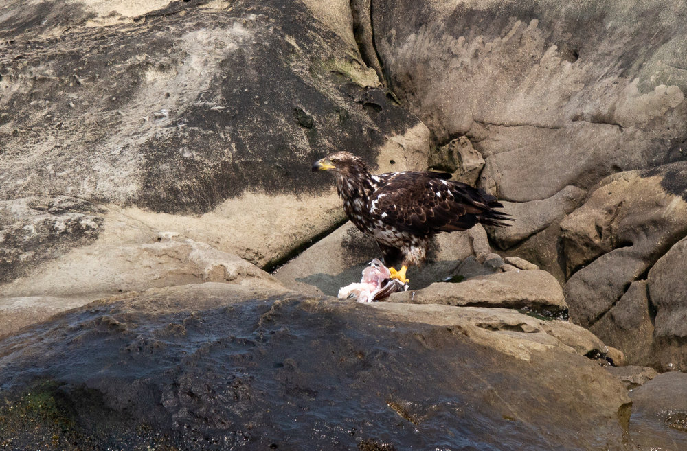A juvenile bald eagle rips apart a fish head in front of guests.Photo by Natalie Reichenbacher