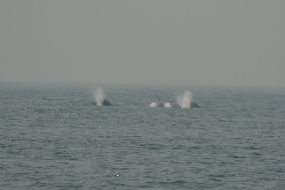 Three orca off in the distance surfacing. Photo by Alanna Vivani.