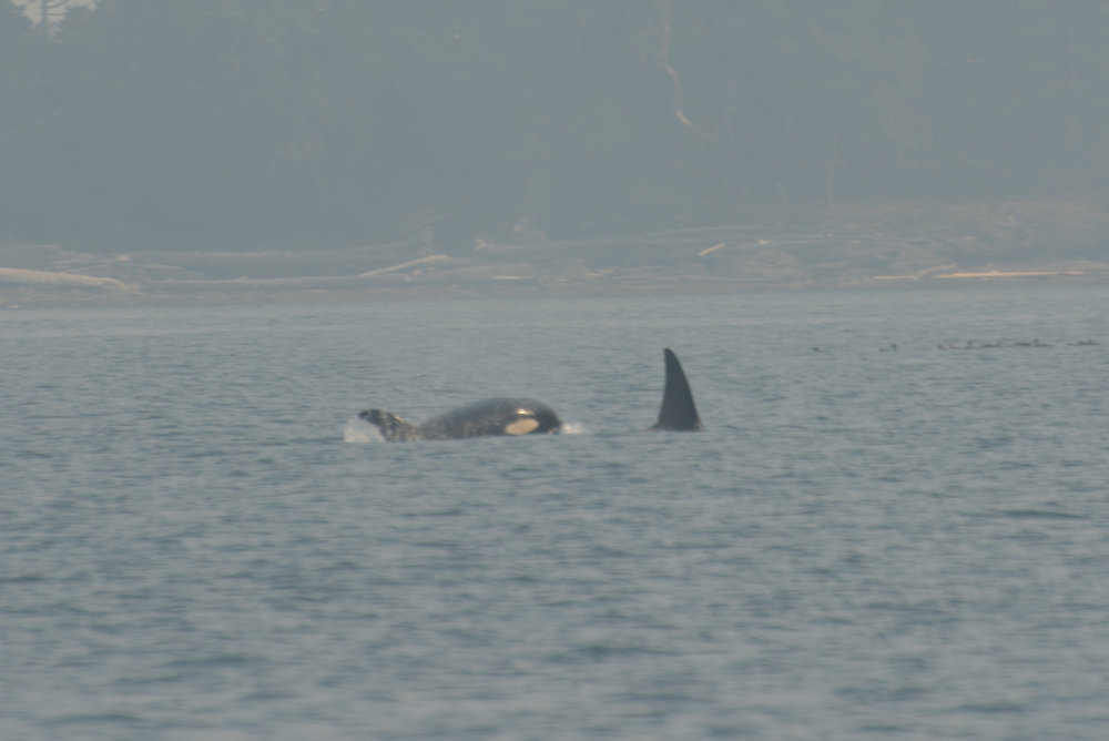 T2C2 surfacing with her mom, T2C. She's only a year old! Photo by Val Watson