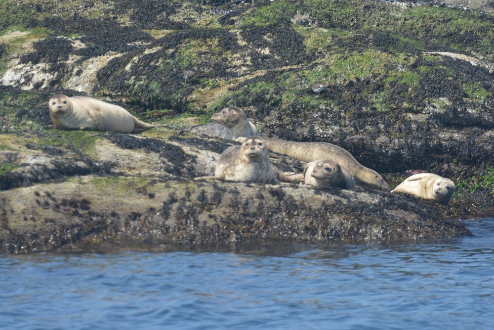 Harbour seals posing for their photo op! Photo by Alanna Vivani.