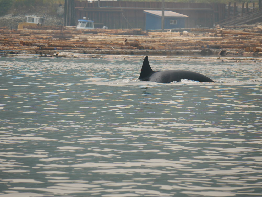 "T124A1 ""Bonapartes"" diving after a successful hunt! Photo by Rodrigo Menezes"