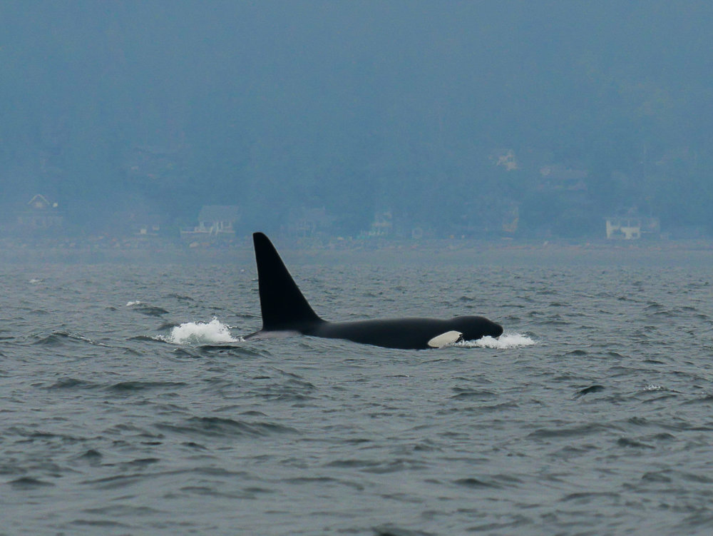 Male orca surfaces, showing off his sleek tall dorsal fin. Photo by Alanna Vivani - 10:30 tour.