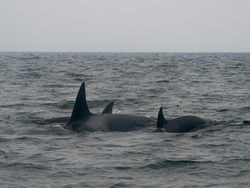 3 members in the pod surface together, calf on the far right! Photo by Rodrigo Menezes - 3:30 tour.