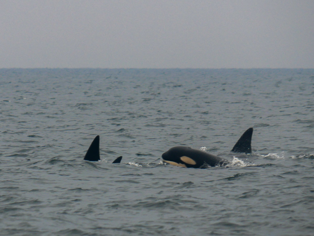 Thats the orca calf with a big surface! Notice the slightly yellow colouration that the calf displays. Photo by Rodrigo Menezes - 3:30 tour.