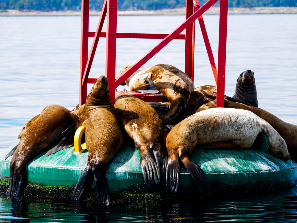 Steller sea lions on the buoy in Gabriola Reefs. Photo by Alanna Vivani - 10:30 tour.