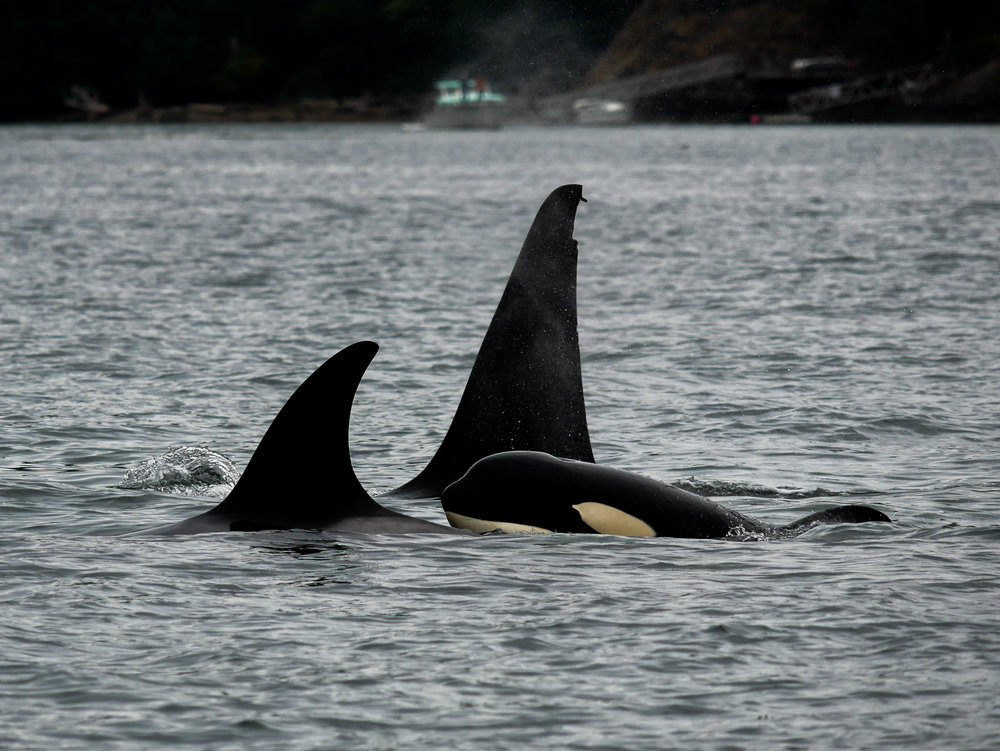 T87 (far back) with calf T90D (right) and another member of T90 (left) surfacing. Photo by Alanna Vivani - 3:30 tour.
