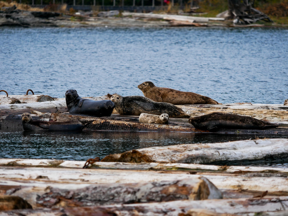 Look at the cute little harbour seal pup on the logs. Photo by Alanna Vivani - 3:30 tour.