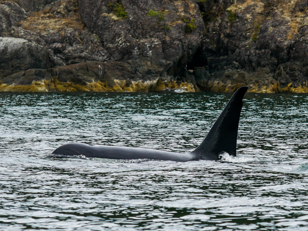 T87 (56 years old) surfaces, take a look at his dorsal fin at the top. Photo by Alanna Vivani - 3:30 tour.