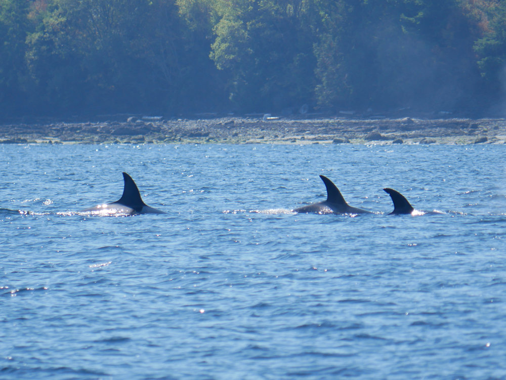 Three of the T99s surface together! Bella (left), Baracat (middle), and Holly (right). Photo by Val Watson.