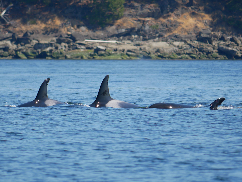 All four surface again together! Check out hollys nicks on the dorsal fin on the left. Photo by Val Watson.