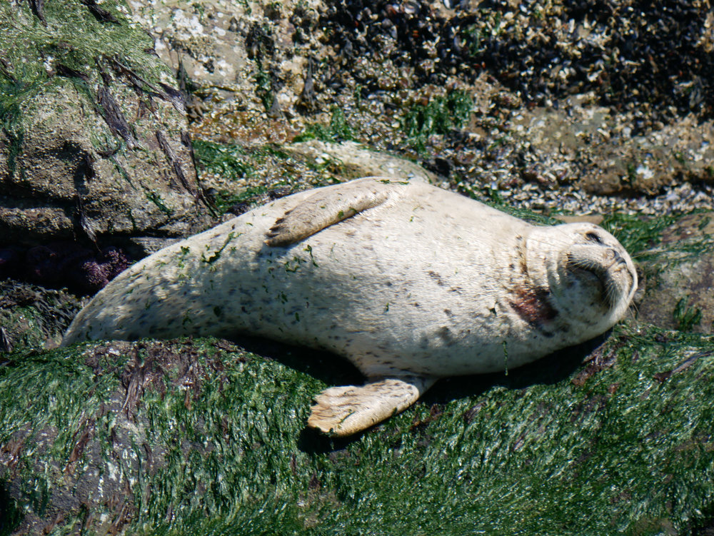Happy, lazy harbour seal! Photo by Val Watson.