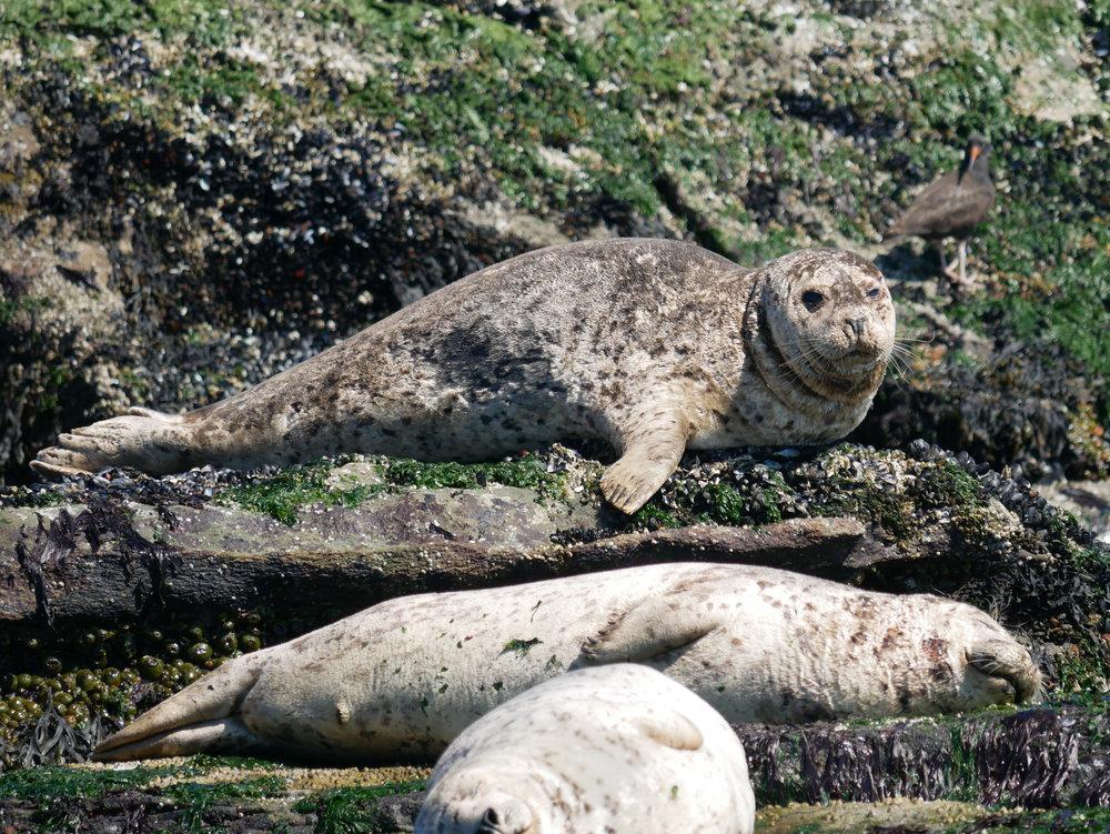 Triple decker harbour seals! bonus judgemental oyster catcher in the background. Photo by Val Watson.
