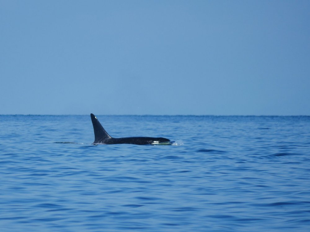 A male orca surfaces in gorgeous conditions. Photo by Rodrigo Menezes