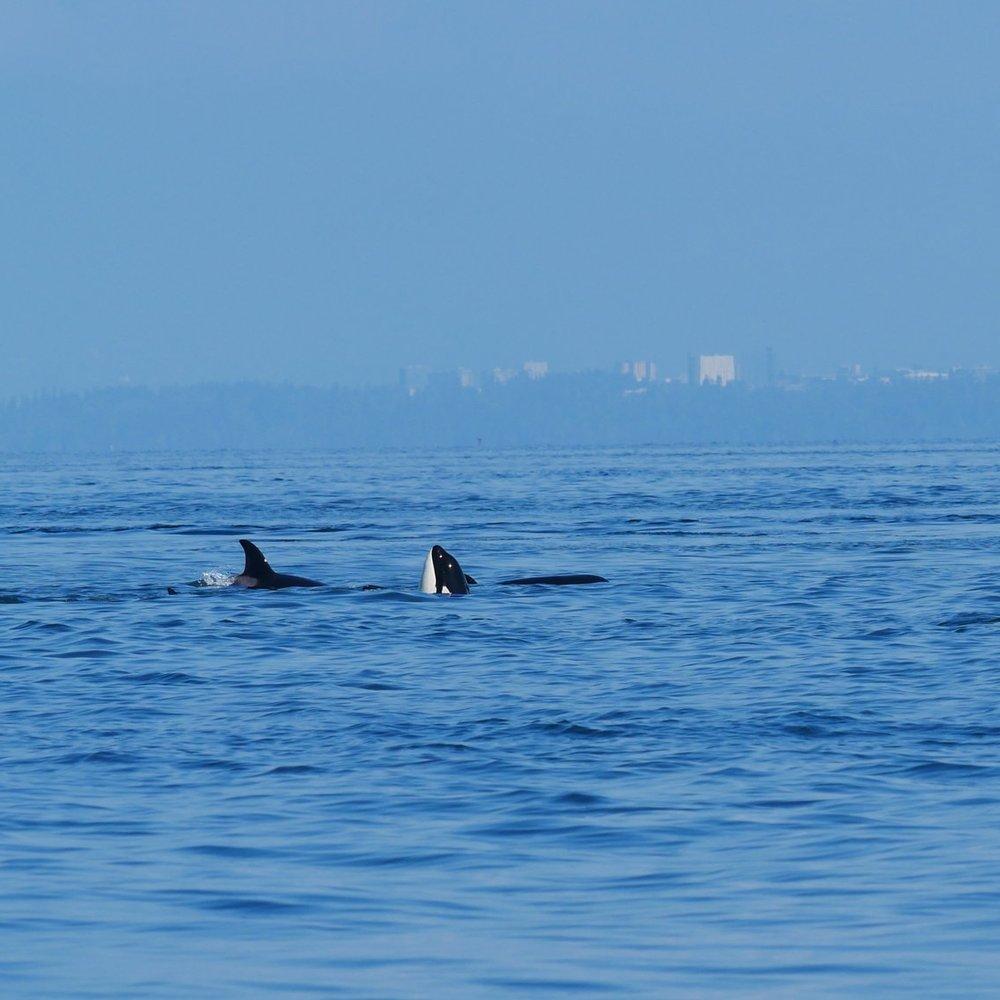 A partial spy hop from a juvenile orca. Photo by Rodrigo Menezes