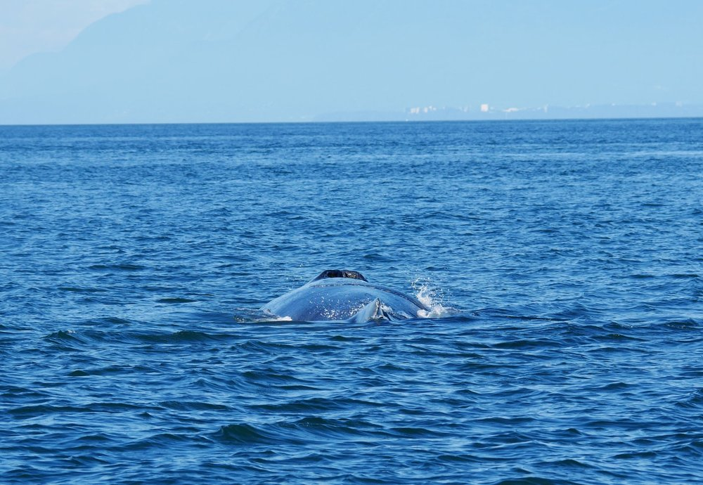 You can really appreciate the size of a humpback whale from this angle! Photo by Rodrigo Menezes