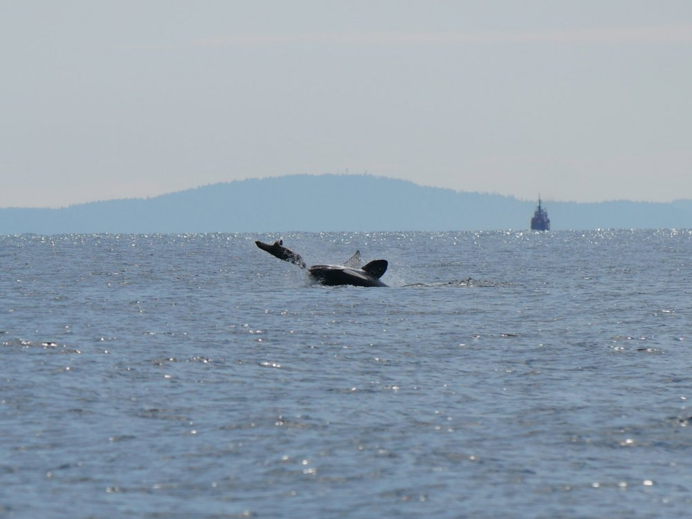 Look closely, the whale's mouth is open! Photo by Val Watson