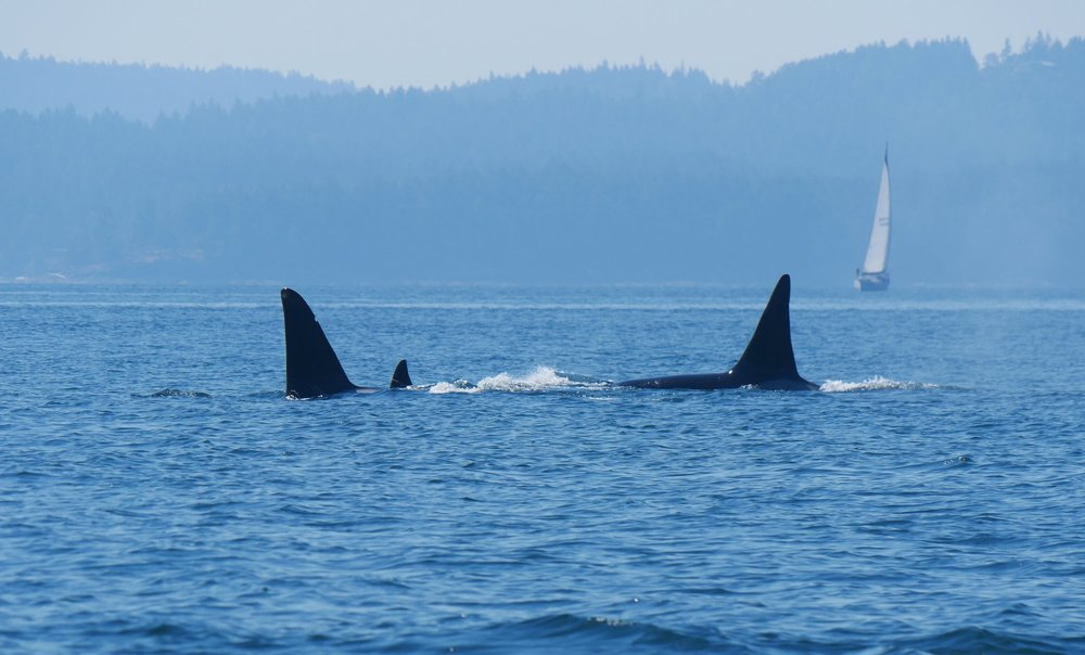 Male killer whales dorsal fins can get up to 6 ft tall! Photo by Rodrigo Menezes