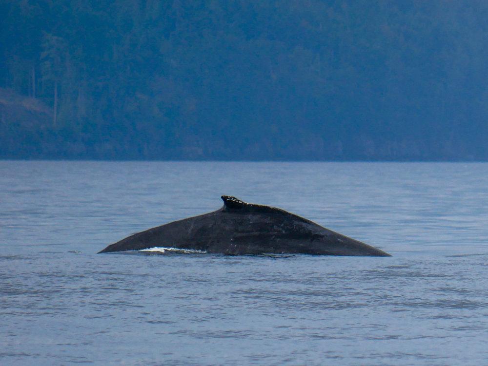 Graze's dorsal fin during a dive. Photo by Alanna Vivani - 10:30 tour.