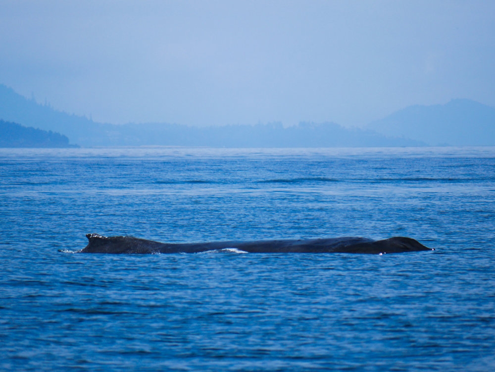 Check out the size of this humpback! Photo by Alanna Vivani - 10:30 tour.