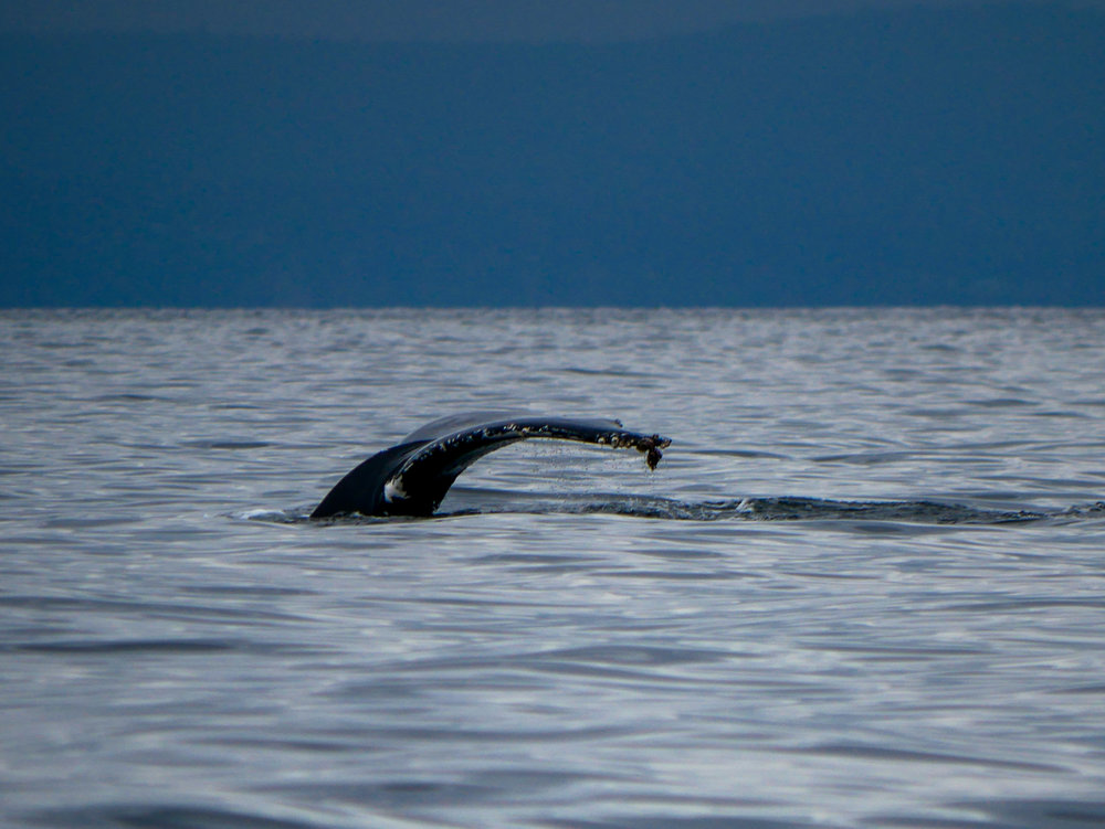 Fluke comes up as the humpback dives down. Photo by Alanna Vivani - 10:30 tour.