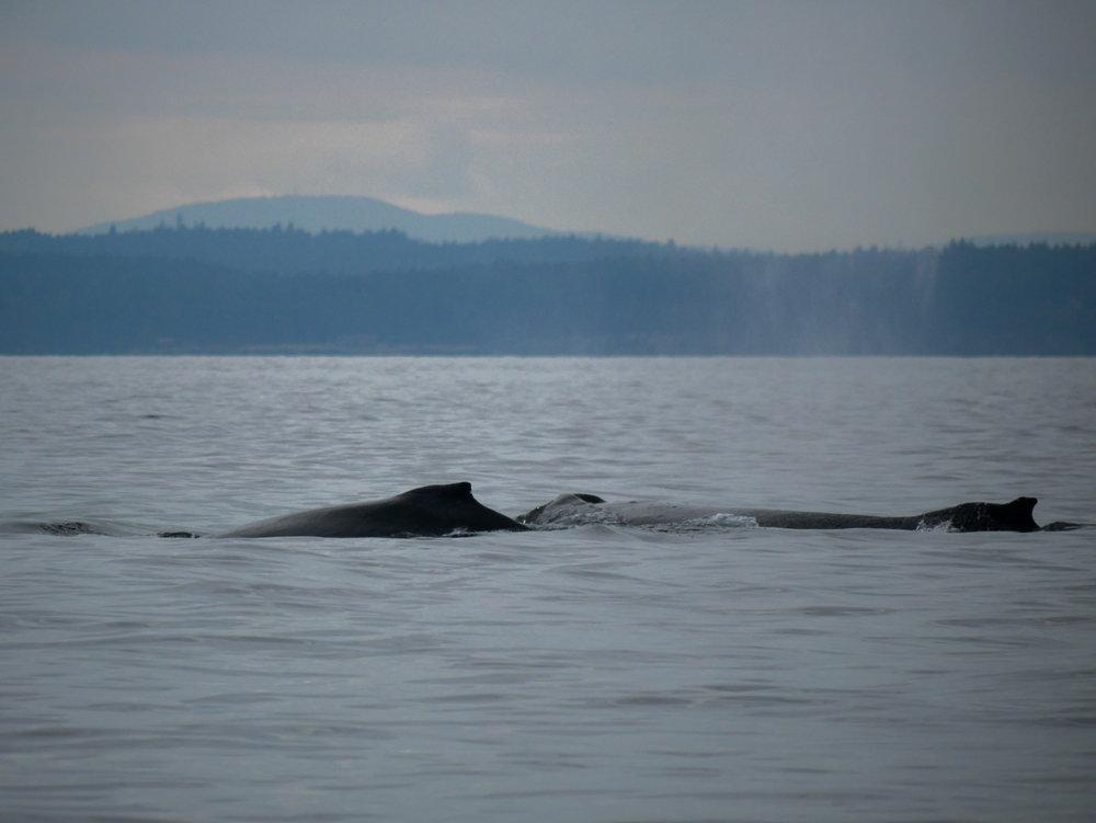 Both humpbacks surfacing together. So close! Photo by Alanna Vivani - 10:30 tour.