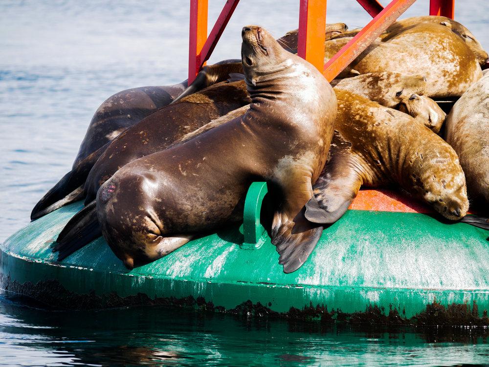 Steller sea lion. Photo by Alanna Vivani - 10:30 tour.
