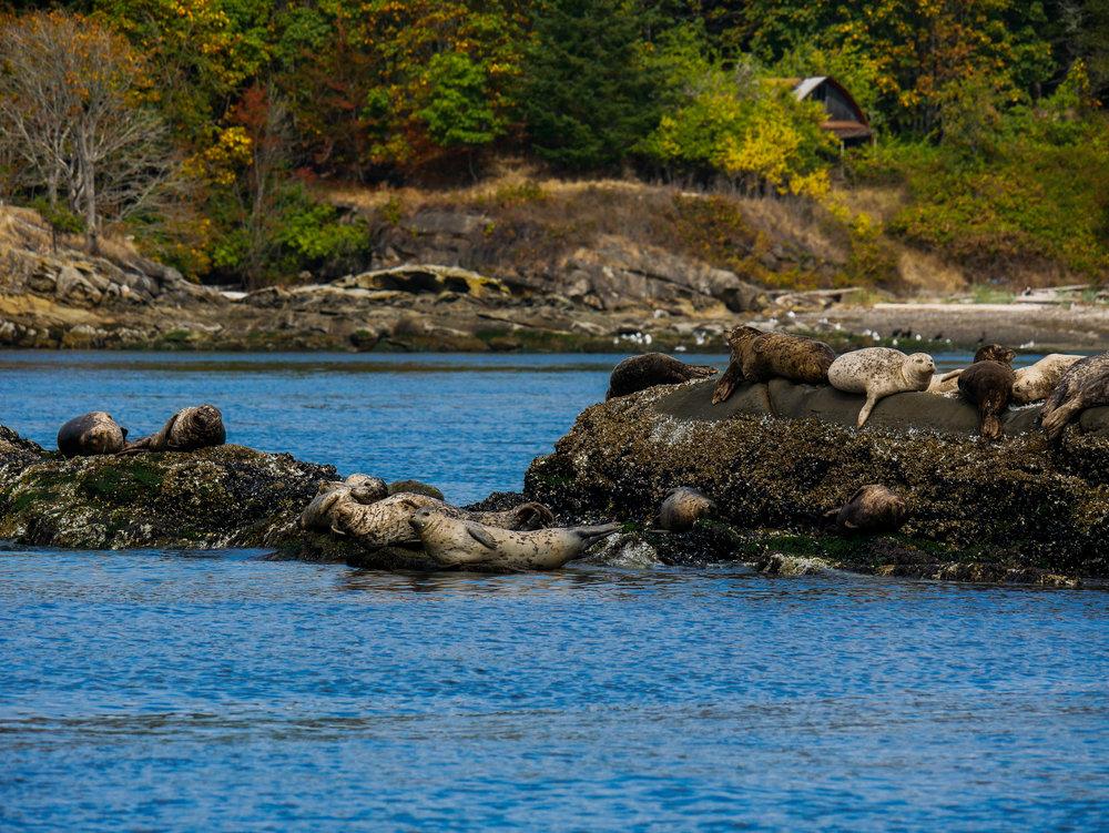 Harbour Seals at Porlier Pass. Photo by Alanna Vivani - 10:30 tour.