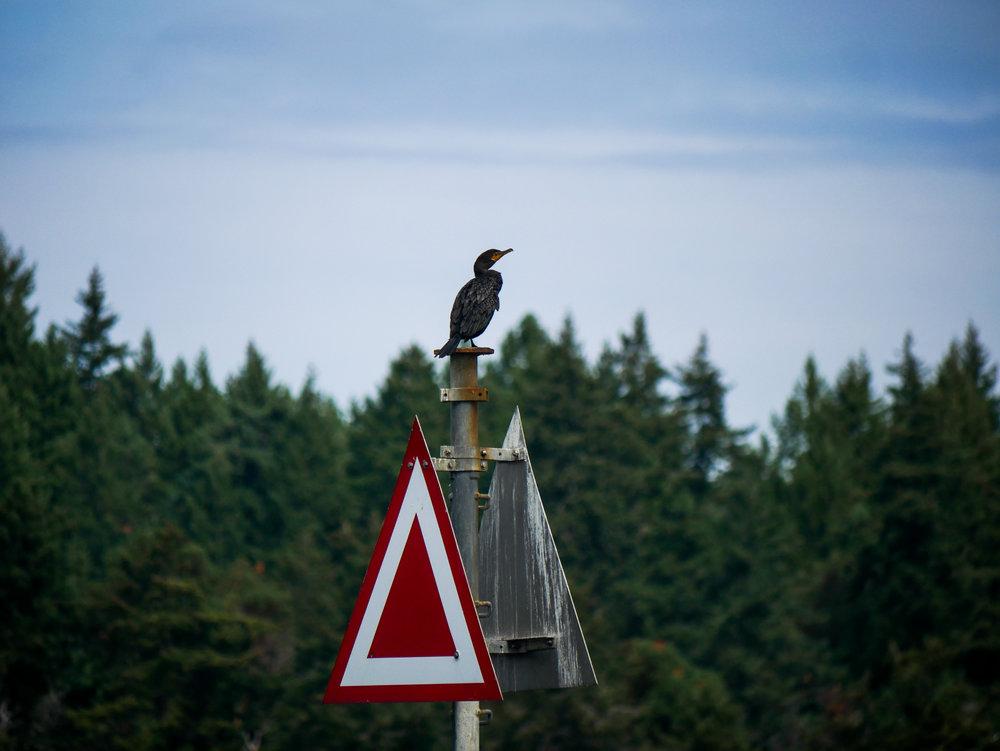 Cormorant perched up at Porlier Pass. Photo by Alanna Vivani - 10:30 tour.