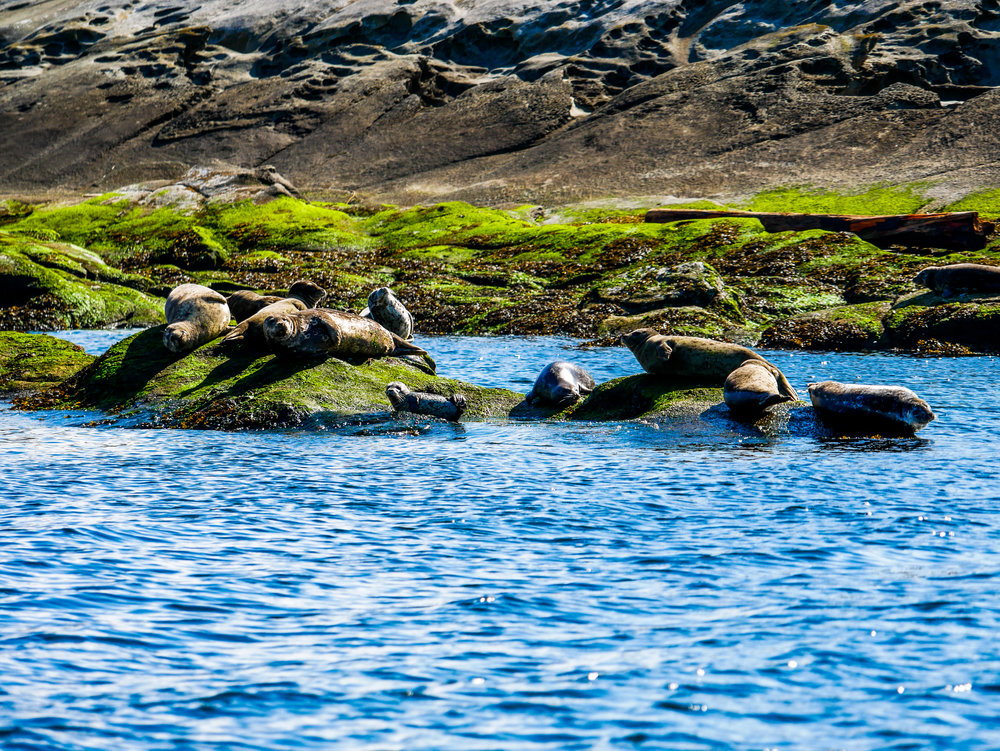 Harbour seals at Entrance Island, see the little pup in the middle? Photo by Alanna Vivani.