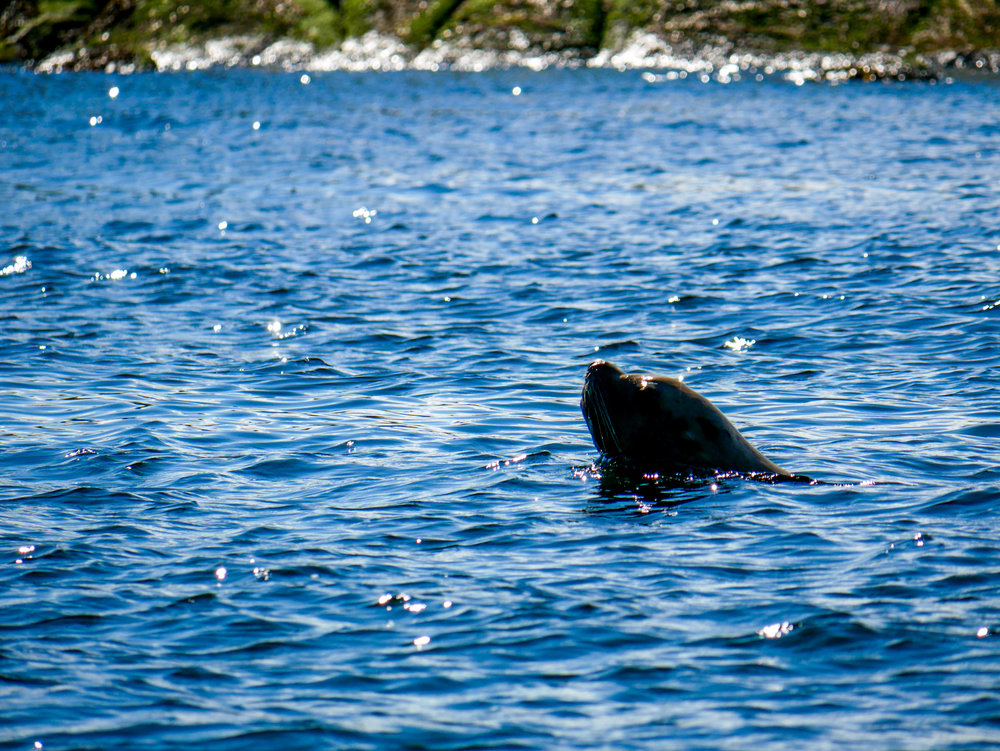 Harbour seal swimming past our vessel. Photo by Alanna Vivani.