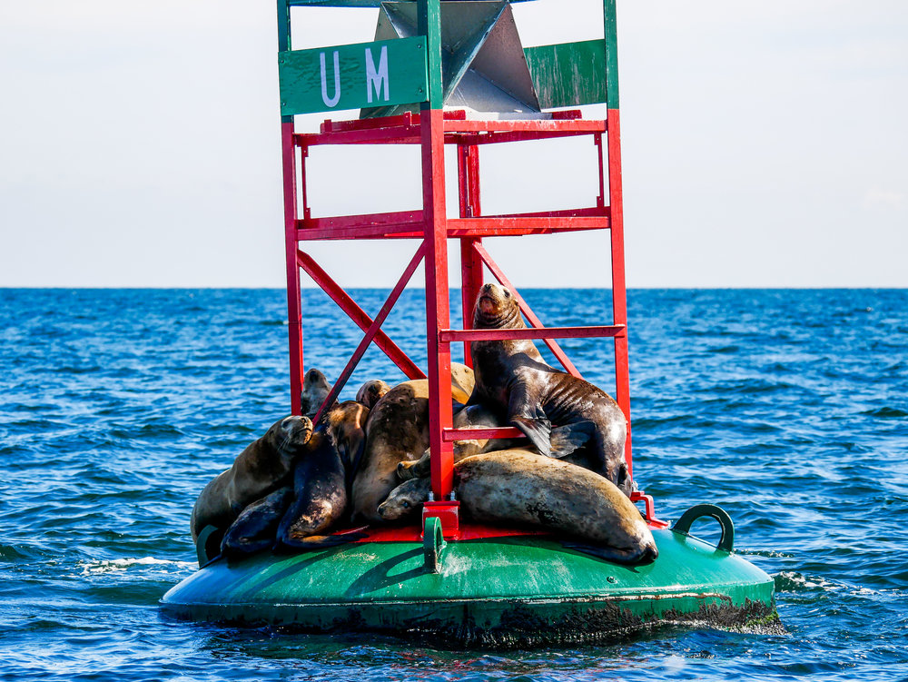 Steller sea lions relaxing on a buoy. Photo by Alanna Vivani.