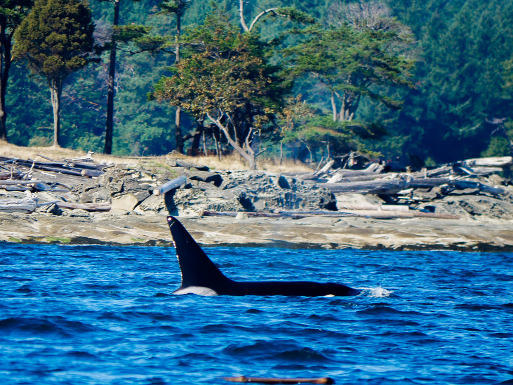Big male surfaces off the coast of the Southern Gulf Islands. Photo by Alanna Vivani.