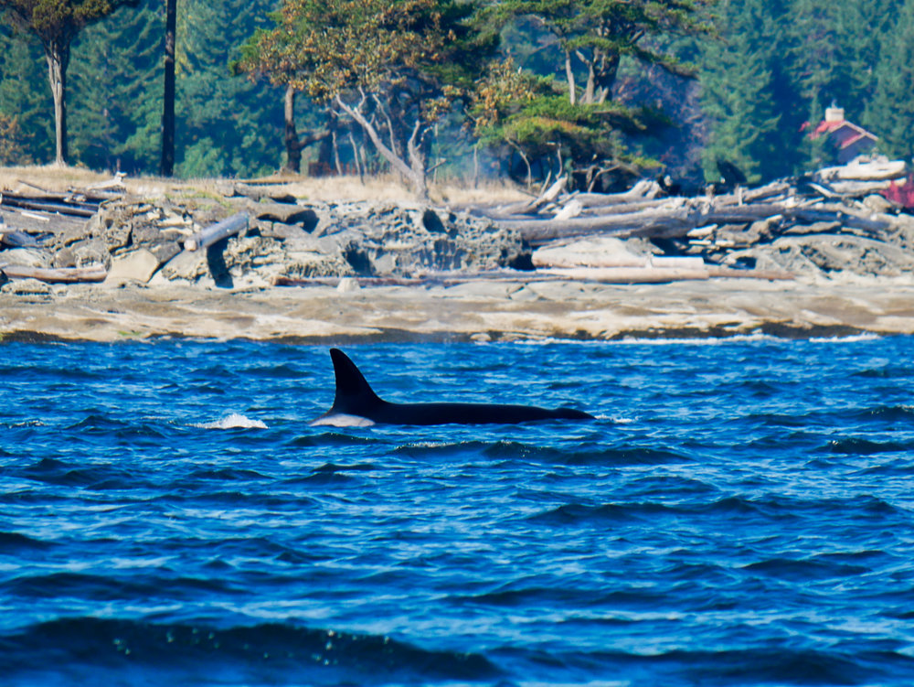 Female orca surfaces. Photo by Alanna Vivani