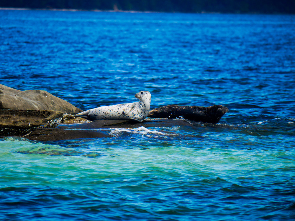 Check out the drastic change in colour between the two harbour seals! Photo by Alanna Vivani