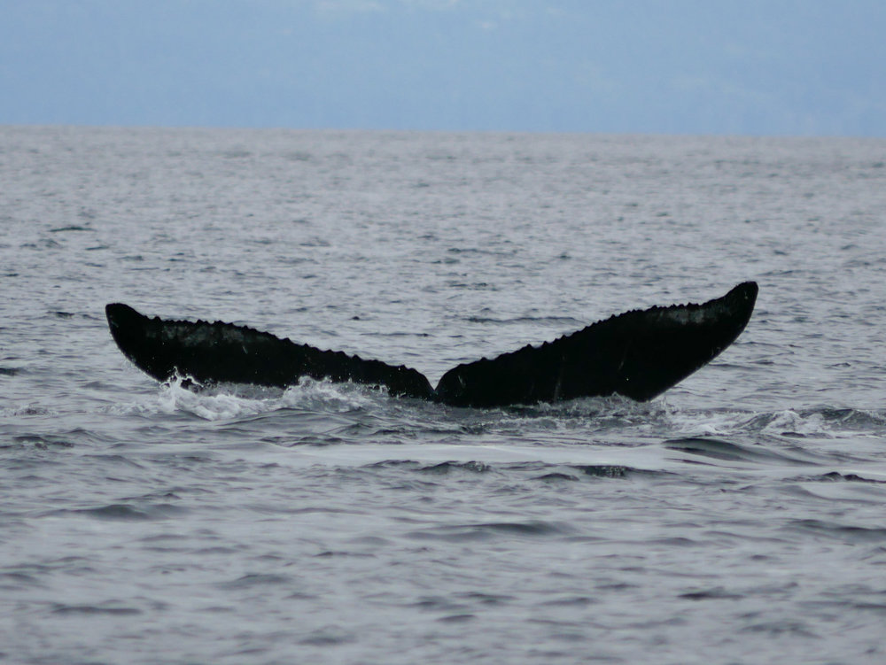 "Fluke shot of KEX0026 ""Slice"" the humpback! Photo by Val Watson"