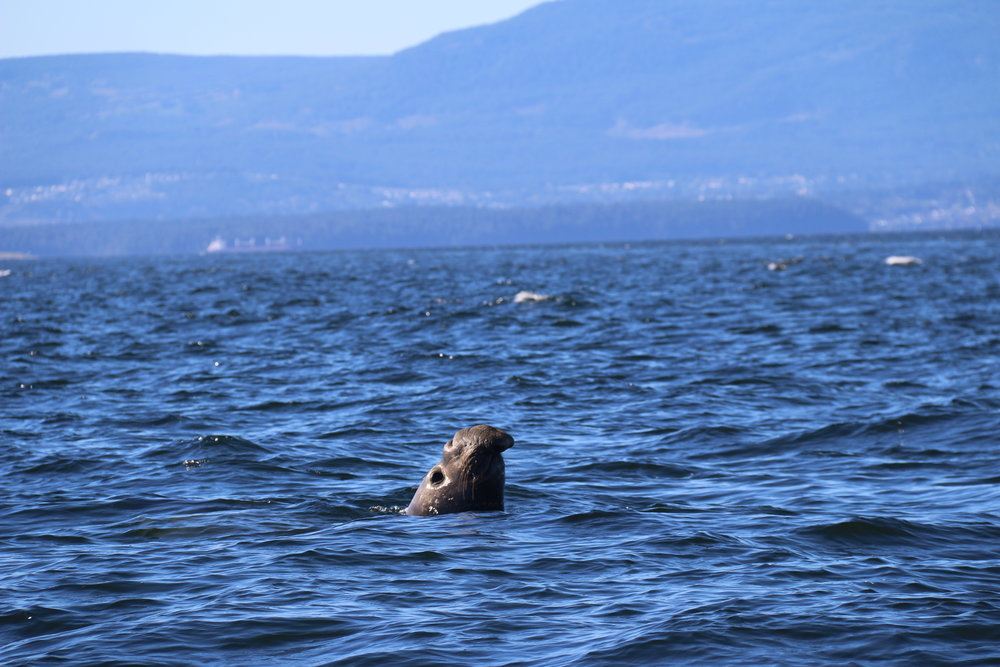 THIS IS NOT A JOKE. THIS IS AN ELEPHANT SEAL! YES, SEEN AROUND NANAIMO! Photo taken by guest Martina Rehfeldt