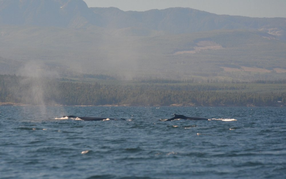 Two whales is better than one! Photo by Alanna Vivani