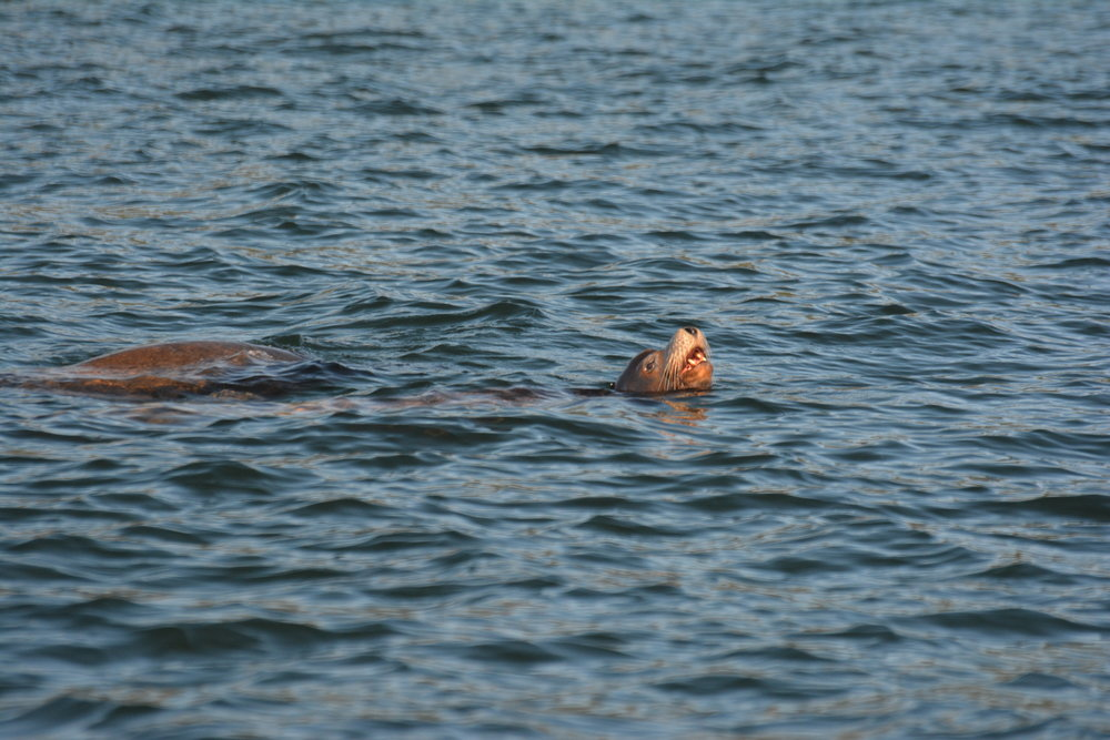 A couple of California sea lions playing together in the open. Look at those teeth! Photo by Alanna Vivani