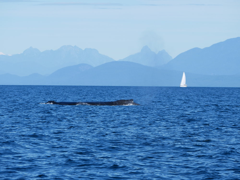 North shore mountains and a large humpback whale! Photo by Rodrigo Menezes