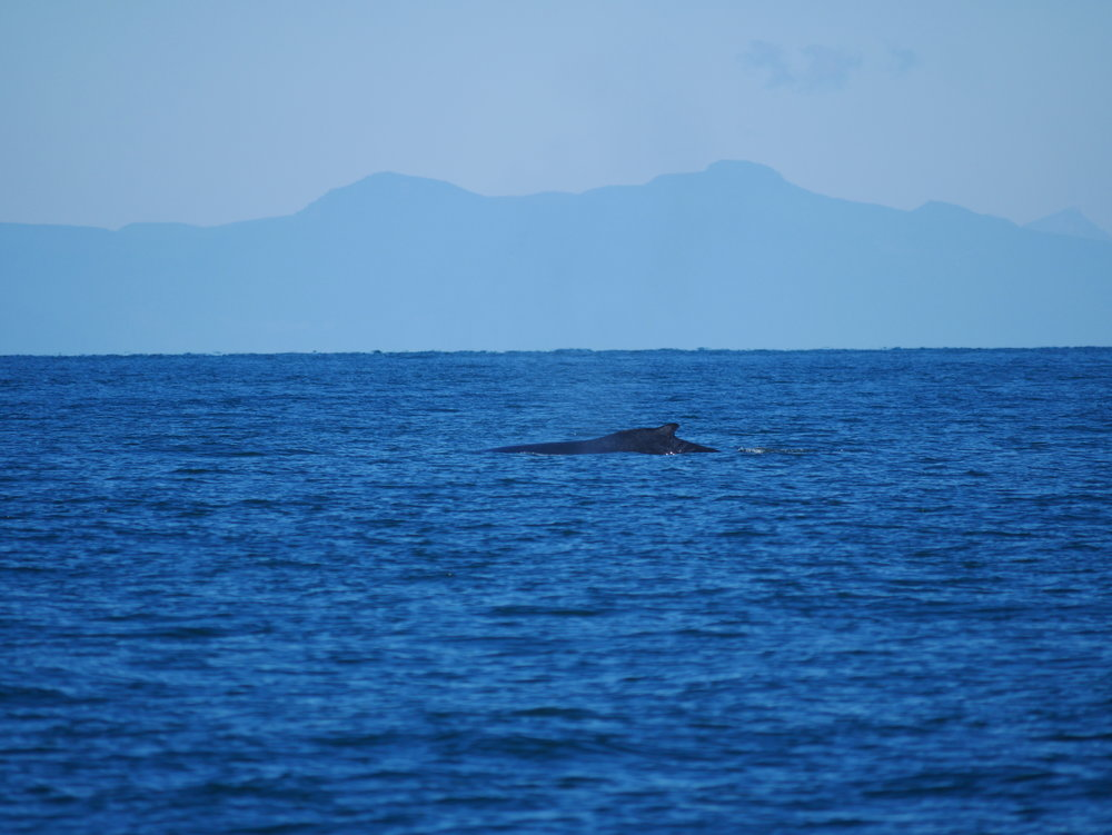 Dorsal fins also help us to identify whales, but it can be much more tricky! Photo by Rodrigo Menezes