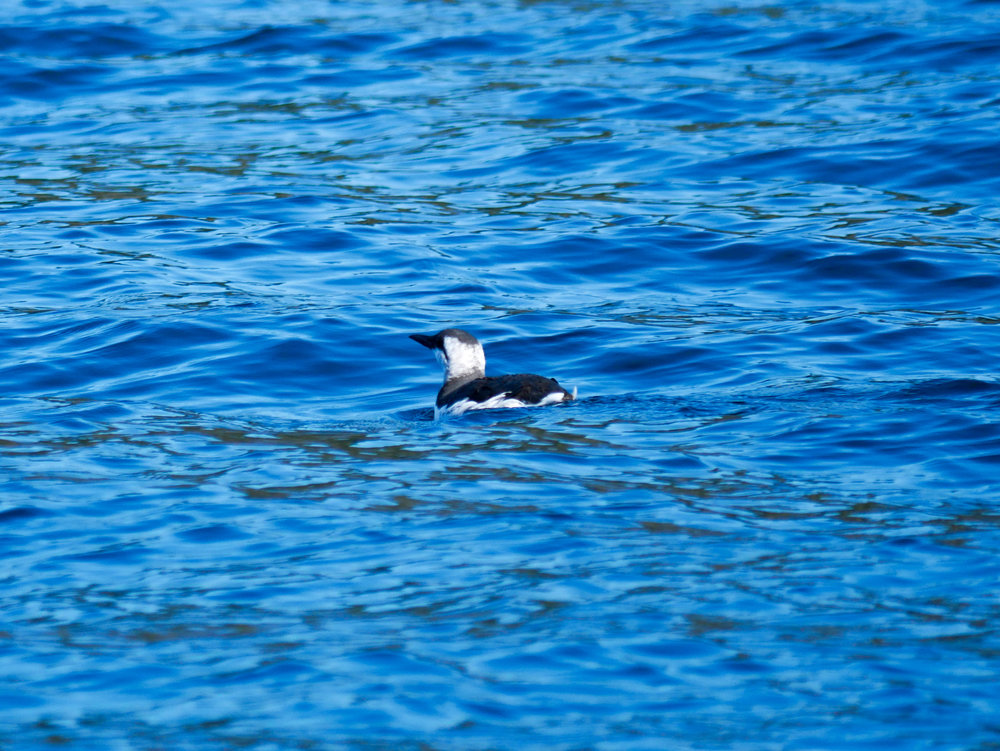 A non-breeding common murre floating on the surface. You can tell by the black colouration dipping into the neck region from the front of the head. Photo by Rodrigo Menezes.