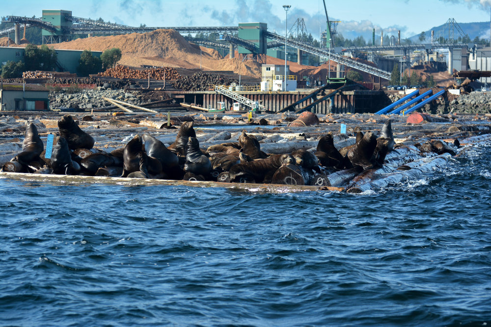 California sea lions hauled out on the log booms in front of Harmac. Photo by Alanna Vivani.