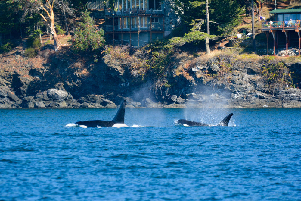 T49A1 (left) and T65A2 (right) surface in front of San Juan Island. Photo by Alanna Vivani.