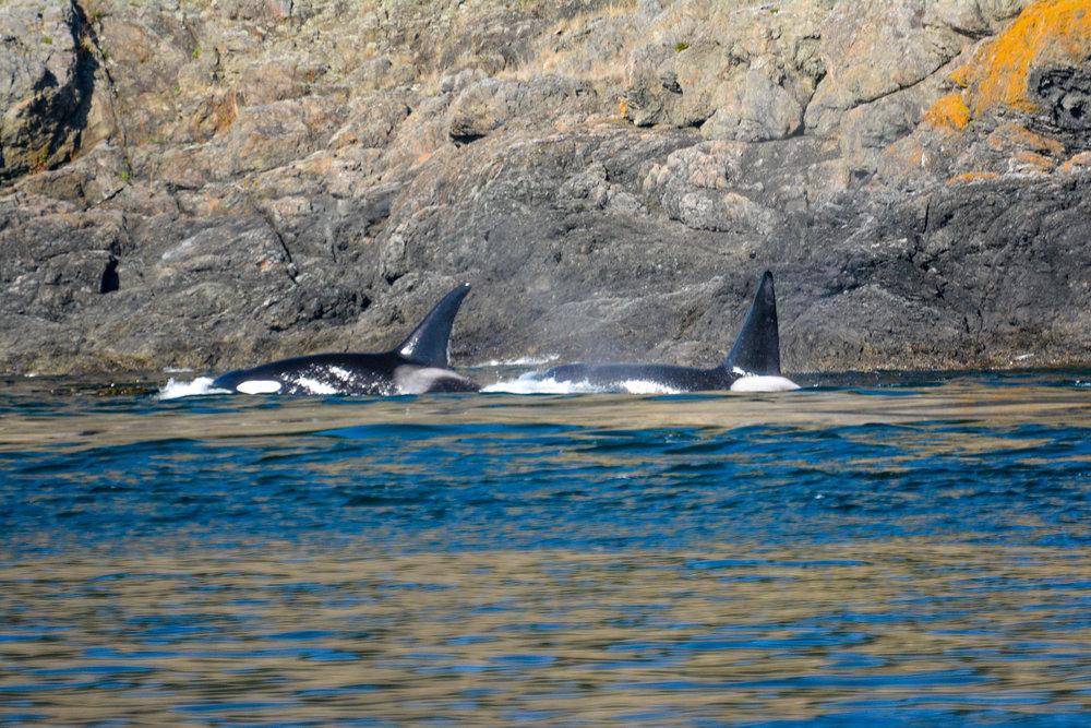 Transient orcas surfaces. Photo by Alanna Vivani.