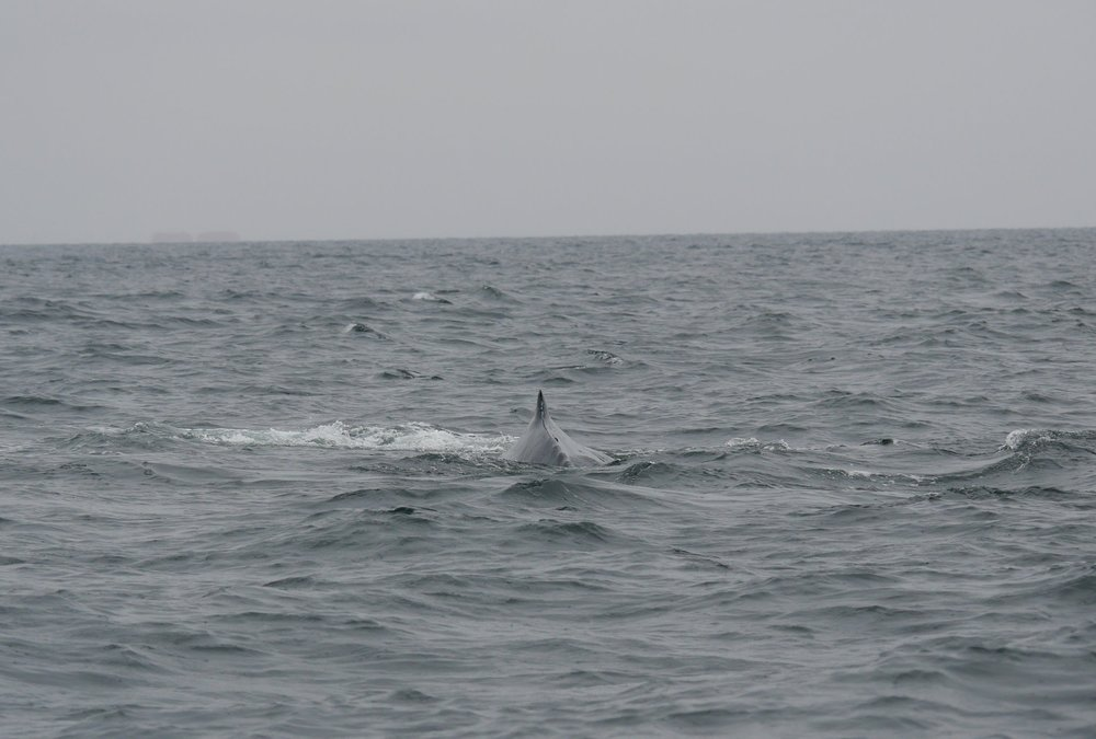 From this angle you can see the vertebrae on the whale's peduncle! Photo by Jilann Campbell