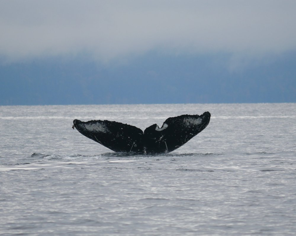 Stunning flluke shot of Snoopy! Fluke shots help us to identify humpback whales and help local NGOs like www.ketacoastalconservation.org monitor the growing population we have here in the Salish Sea